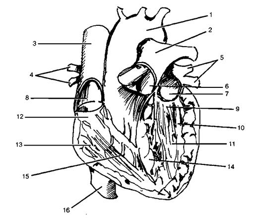 Физиологические изменения в сердечно-сосудистой системе под влиянием мышечной деятельности