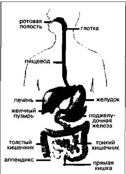 Физиологические изменения в пищеварительной системе под влиянием мышечной деятельности