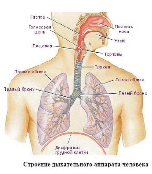 Как устроена дыхательная система человека