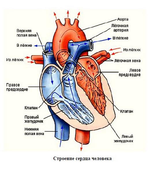 Сердце — центральный орган системы кровообращения