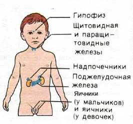 Принцип работы эндокринной системы